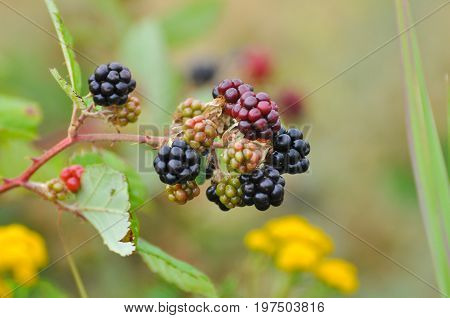 Group of ripe and ripening wild blackberries. Organic wild blackberry is a great antioxidant