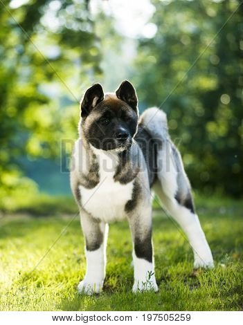 Puppy of the American Akita, 4 months old