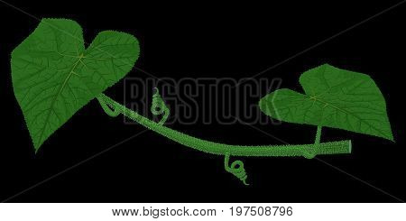 Isolate cucumber stem with leaves on black background