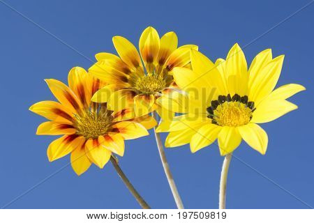 Three Gazania Rigen Flowers Against Sky