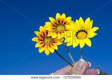 Three Gazania Rigen Flowers Held Against Sky
