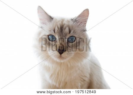 Purebred Siberian, Neva Masquerade cat. Kitten 6 months old, with saturated blue eyes. Color-point: seal-tabby.