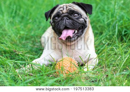 Cute dog with rubber ball lying on green grass