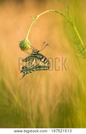 Beautiful nature scene with butterfly Swallowtail (Papilio machaon). Macro shot of butterfly Swallowtail (Papilio machaon) on the flower. Butterfly in the nature habitat.