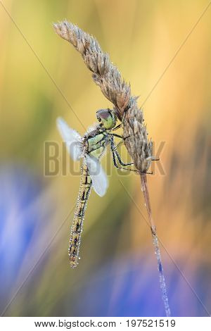 Beautiful nature scene with dragonfly Vagrant darter (Sympetrum vulgatum). Macro shot of dragonfly on the /flower. Dragonflyn the nature habitat.