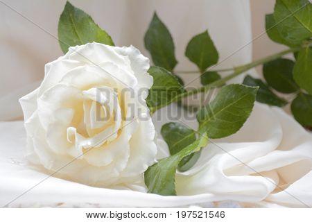 delicate flower white roses on a light drape