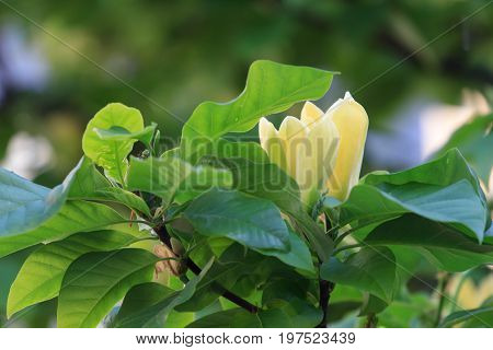 Yellow magnolia buds. Two marvelous yellow magnolia bud on a tree surrounded by large green foliage.