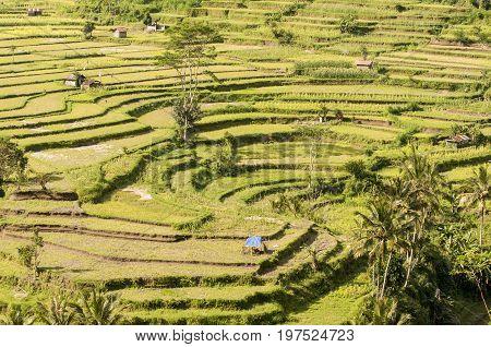 Bali Rice Terraces. Rice fields of Jatiluwih Bali Indonesia