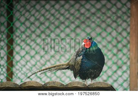 beautiful colorful pheasant in a cage bird