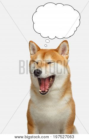 Portrait of Shiba inu Dog with closed eyes thinking in cloud on Isolated White Background, Front view