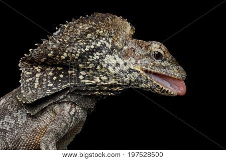 Close-up Frill-necked lizard attack, also known as the frilled lizard, Chlamydosaurus kingii, on isolated Black Background, profiel view