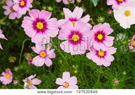 cosmos flowers vintage flowers garden pink nature flowers