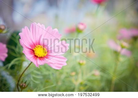 pink cosmos flowers daisy blossom flowers in the garden . pink flowers