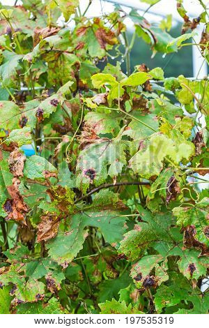The vineyard is affected by fungal disease downy Mildew false mildew ( Plasmopara viticola )