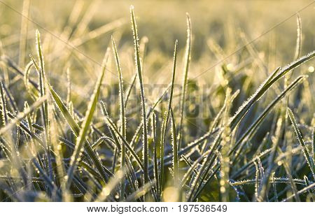 background from a green grass covered with hoarfrost. frosty meadow leaves frozen .sunrise over an autumn meadow sunshine light a grass
