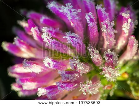 pink flower of a clover is covered with hoarfrost macro. freeze detail nature purple wild flower
