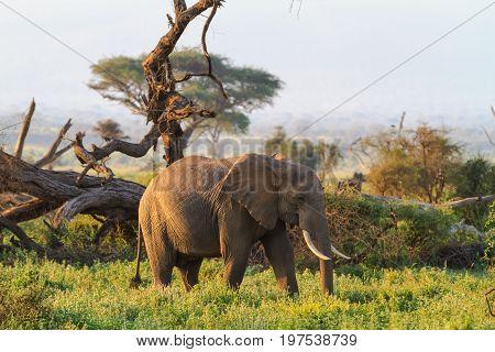 Elephants from savanna of Amboseli. Kenya, Kilimanjaro mountain.
