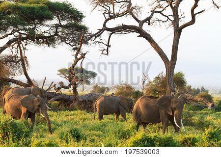 Savanna of Amboseli. Elephants of Kenya, Kilimanjaro mountain.