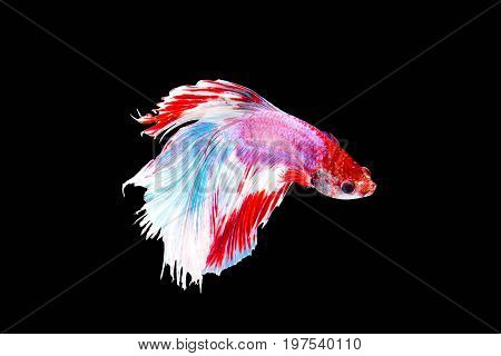 Betta siamese fighting fish .Capture the moving moment of red-white siamese fighting fish isolated on black background,