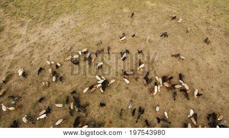Wild Sheep Are Walking