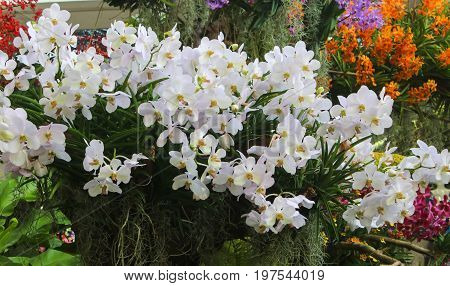 Closeup of White orchid flowers decorate green leaf