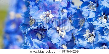 blue flowers of a delphinium close up macro. panorama floral
