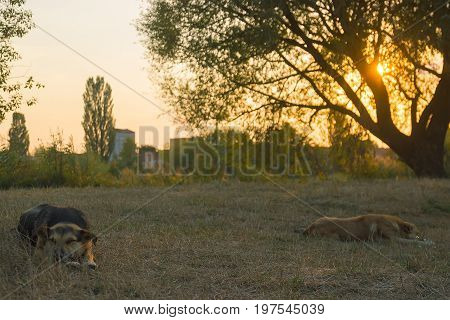 Stray dogs sleeping in the evening near tree and grass