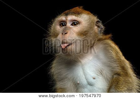 Close-up Portrait of Funny Long-tailed macaque or Crab-eating Monkey ape, showing tongue on Isolated Black Background