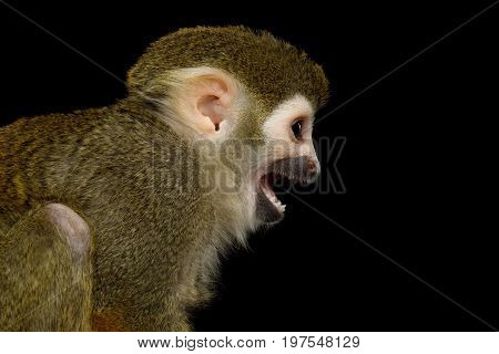 Close up Portrait of Squirrel Monkey or Saimiri Isolated on Black Background