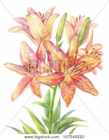 Hemerocallis daylily. Bouquet of speckle flowers. Botanical illustration
