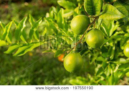 Green Lemons Growing On A Lemon Tree In Martinique