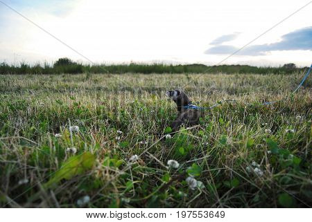 Sable ferret in a Latvian (Baltic) meadow