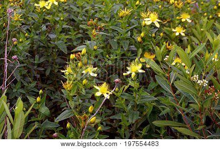 Perforate St John's wort flowers (Hypericum perforatum) bloom in Plainfield, Illinois during June.