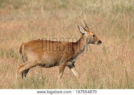 Male Barasingha or swamp deer (Rucervus duvaucelii), Kanha National Park, India