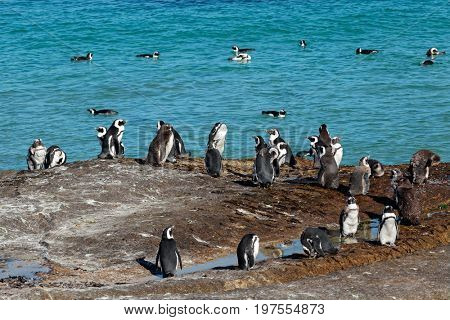 Group of African penguins (Spheniscus demersus) sitting on coastal rocks, Western Cape, South Africa