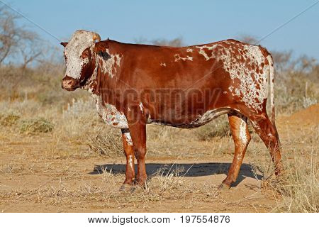 Sanga cow - indigenous cattle breed of northern Namibia, southern Africa