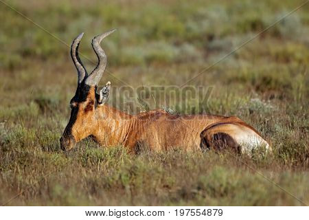 A red hartebeest (Alcelaphus buselaphus) resting in natural habitat, South Africa