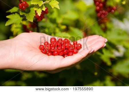 Berries of a ripe red currant on a female palm. Against the background of the currant bush.