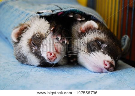 Two cute ferrets (polecats) sleeping together in a denim sleeve