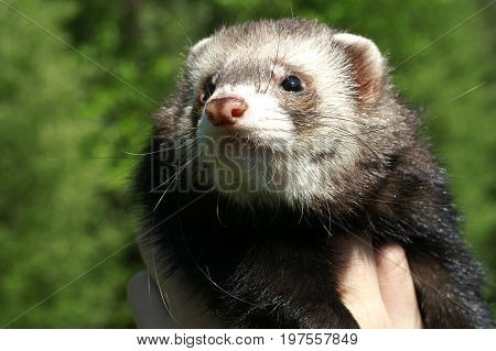 Ferret (Mustela Putorius Furo) on a bokeh green background