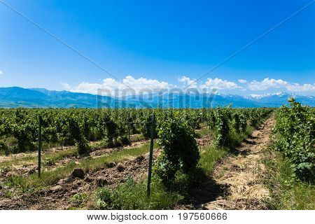 winery landscape with blue sky with mountains on background near Almaty, Kazakhstan in summertime