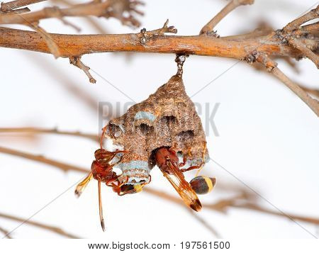 Wasp nest on tree branch Wasp builder a small nest in small increments.