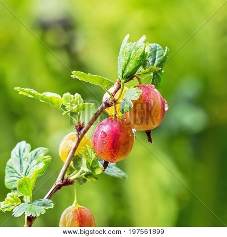 Garden berry bushes Gooseberries ordinary ( lat. Grossularia uva-crispa ). Branch with berries closeup