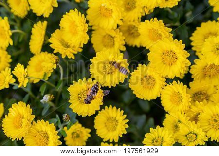Bees At Work On Yellow Flowering Background