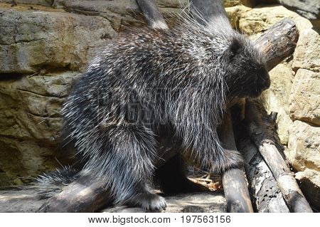A porcupine in the outdoors during summer