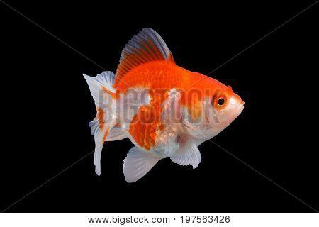 cute goldfish .Capture the moving moment of  white  goldfish  isolated on black background