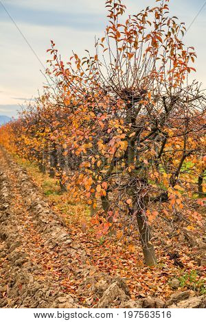 Fall At Sour Cherry Orchard