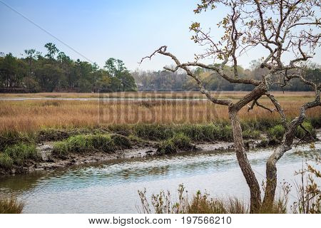 Single tree in front of wetland marsh in Charleston South Carolina