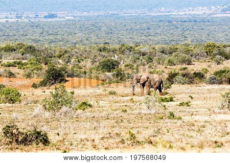 Bush Elephant Walking In The Field