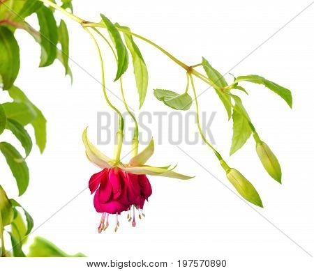 Blooming Hanging Twig In Shades Of Dark Red And White Fuchsia Is Isolated On Background, Mood Indigo